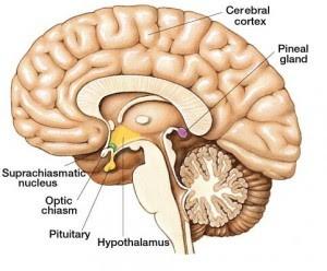 Човешкият мозък